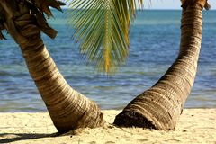 A pair of palm trees. Like a couple appears two palm trees at a beach Stock Photography