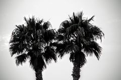 A pair of palm-trees Stock Image