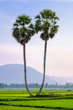 A pair of palmyra trees on the rice field, An Giang Stock Images
