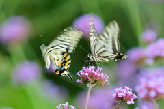 A pair of papilio xuthus stock photos