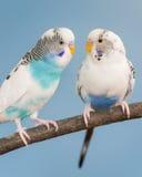Pair of parakeets Royalty Free Stock Image