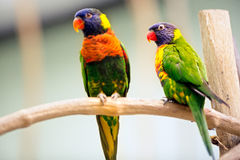 Pair Parrot Royalty Free Stock Images