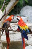 Pair of parrots. A couple of parrots playing on a branch stock images