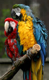 Pair of Parrots. Blue and red on a branch of wood, a couple maybe royalty free stock photo