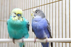 A pair of parrots Royalty Free Stock Photography