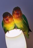 Pair of parrots. Little parrots Stock Photo