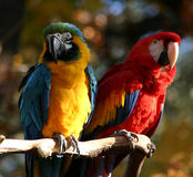 Pair of parrots. A couple of parrots sitting on a branch on a beautiful fall day. One is a blue and gold macaw, the other is a scarlet macaw Royalty Free Stock Photos