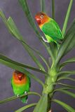 Pair of parrots. Pair of little parrots- agapornis-fischeri Stock Photo