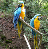 Pair of Parrots. Pair of colorful parrots from a zoo Stock Photo