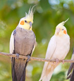 Pair of parrots Royalty Free Stock Image
