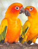 Pair of parrots Royalty Free Stock Images
