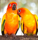 Pair of parrots Stock Image