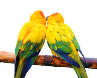 Pair of parrots kissing Royalty Free Stock Photography