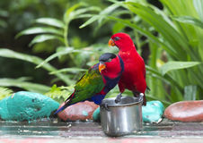 A pair of parrots Lori. Stock Photography