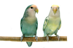 Pair of Peach-faced Lovebirds. (Agapornis roseicollis motley clarified blue and blue morphs) on the white background Royalty Free Stock Images