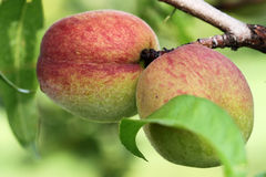 Pair of peaches Royalty Free Stock Image