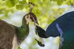 A pair of peacock. It is a detail pair of peacocks Stock Photography