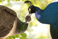 A pair of peacock. It is a detail pair of peacocks Royalty Free Stock Photography