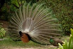 Pair of peacocks . Stock Image