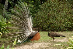 Pair of peacocks . Stock Images