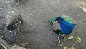 Pair of peacocks stock video
