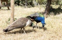 A pair of peacocks Stock Photos