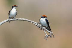 A pair of pearl breasted swallows. Sitting on tree branch Royalty Free Stock Photography