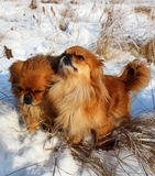 A pair of Pekingese Royalty Free Stock Photo