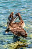 Pair of pelican birds. royalty free stock image