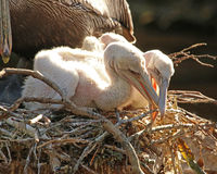 Pair of Pelican chicks. A pair of brown Pelican chicks in nest with mother Royalty Free Stock Photography