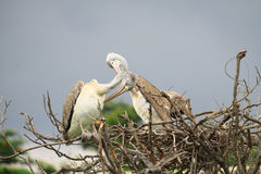Pair Pelican on tree dry Royalty Free Stock Photography