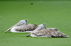 Pair Pelican in water with green plant Royalty Free Stock Photo