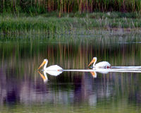 Pair of pelicans. Pelicans on a small pond Royalty Free Stock Photos