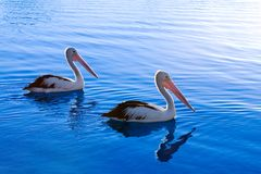 A pair of pelicans. Swim in blue water stock images