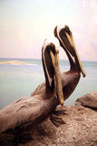 Pair of Pelicans. A pair of stuffed pelicans sit in a diorama at the Dallas Museum of Nature and Science stock images