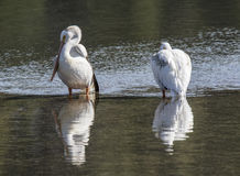 A pair of pelicans. At fishing bridge in yellowstone national park stock photos