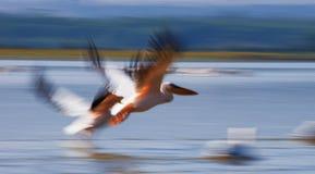 A pair of pelicans flying over the water. Lake Nakuru. Kenya. Africa. Royalty Free Stock Images