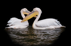Pair of pelicans isolated. On black royalty free stock photography