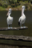 Pair of pelicans by lake. Two pelicans perched on wooden logs over lake in countryside royalty free stock images