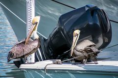 Pelican on power boat deck. Pair of pelicans perched on a power boat in marina dock royalty free stock images