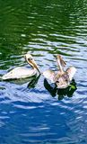 Pair of pelicans. Pelicans playing in the water splashing stock images