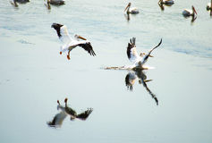 Pair of Pelicans Reflecting Stock Images