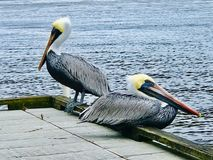 Pair of pelicans. Two adult pelicans sitting on a dock in the royalty free stock photos