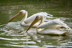 Pair of pelicans wading in a pond. Stock Images