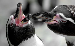 Pair of penguins stock photography