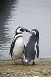 Pair of penguins Royalty Free Stock Photography