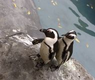 Pair of Penguins. On a rock beside the water royalty free stock photos