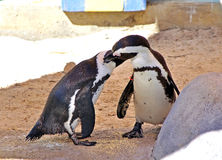 Pair of penguins cleaning each other. A pair of penguins cleaning each other after swimming Royalty Free Stock Photos