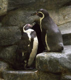 Pair of penguins on a rock. Royalty Free Stock Photography