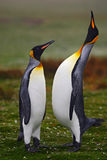 Pair of penguins. Small and big bird. Male and female of penguin. King penguin couple cuddling in wild nature with green. Background. Falkland Island royalty free stock image